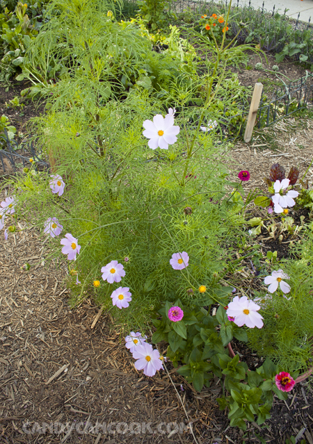 Khóm hoa cosmo và zinnia tớ trồng ở góc vườn đây ^^