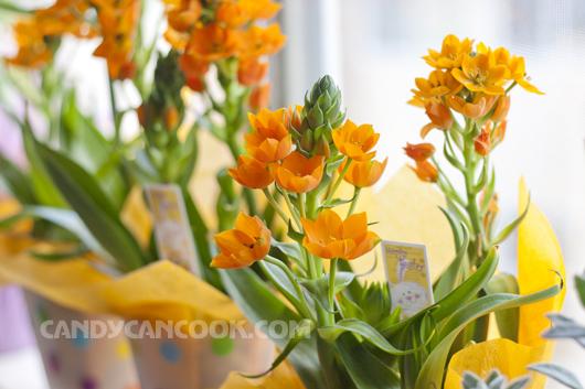 Hoa Sun Star màu cam rực rỡ khoe sắc
