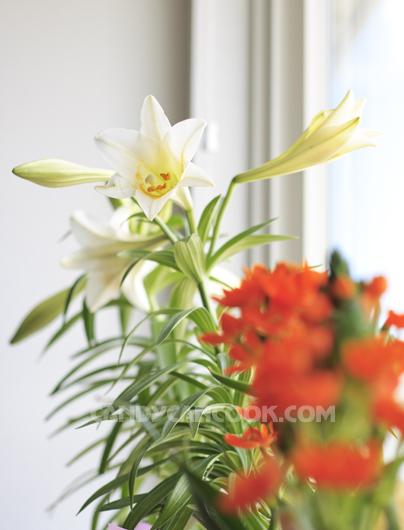 Hoa Ly trắng nhìn như hoa Loa kèn tháng 4 ở nhà :X