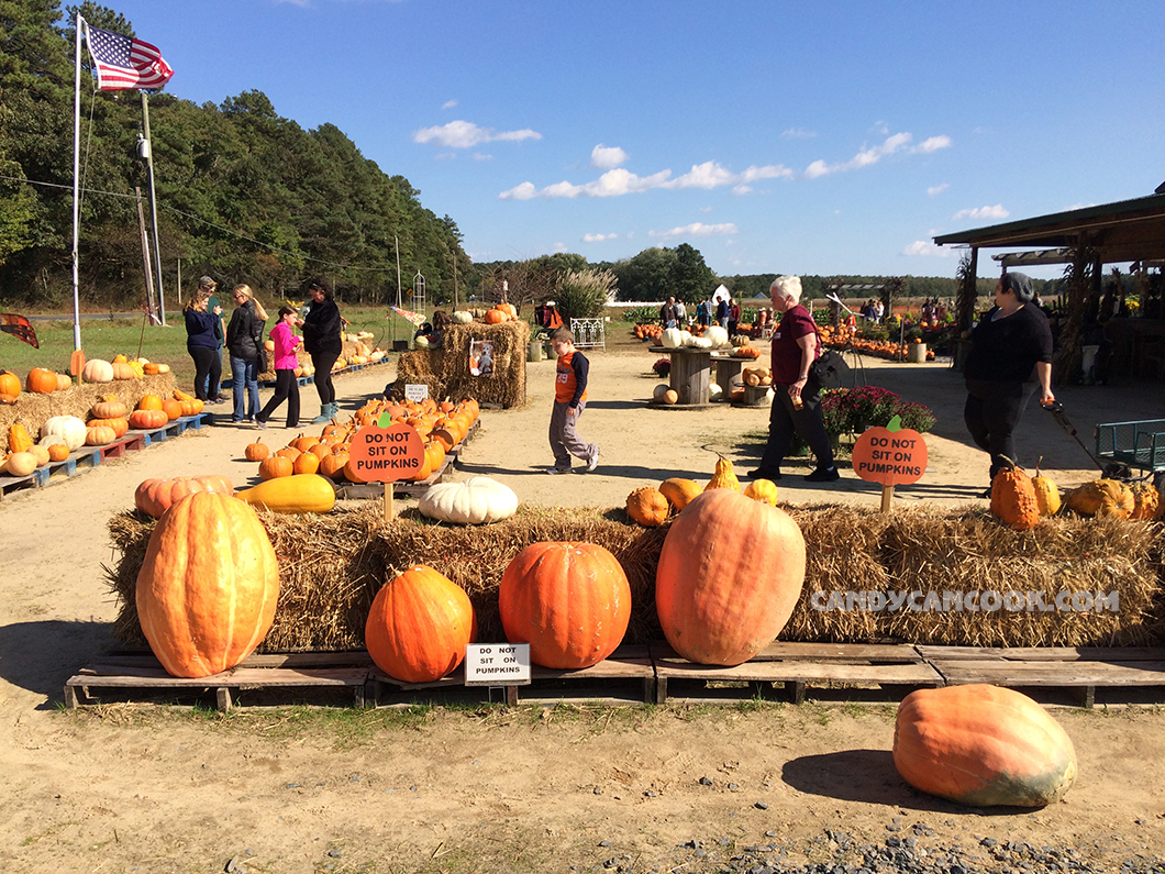 Những quả bí đỏ Pumpkin to đùng chờ người mua về để khắc