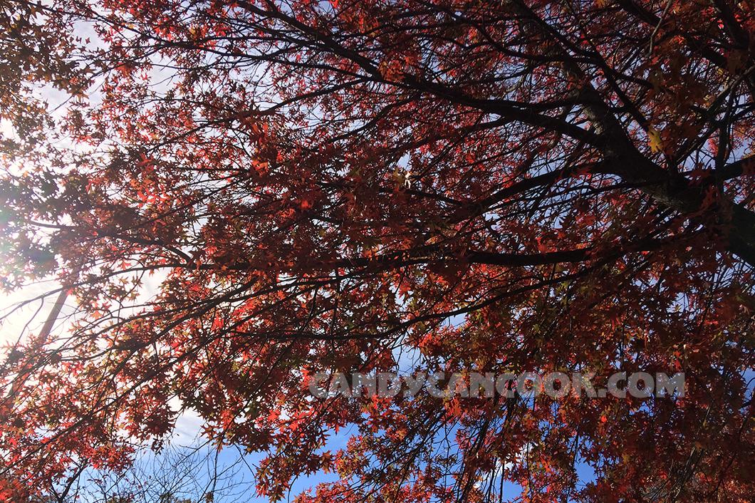 Rặng cây đỏ ở ngay gần nhà