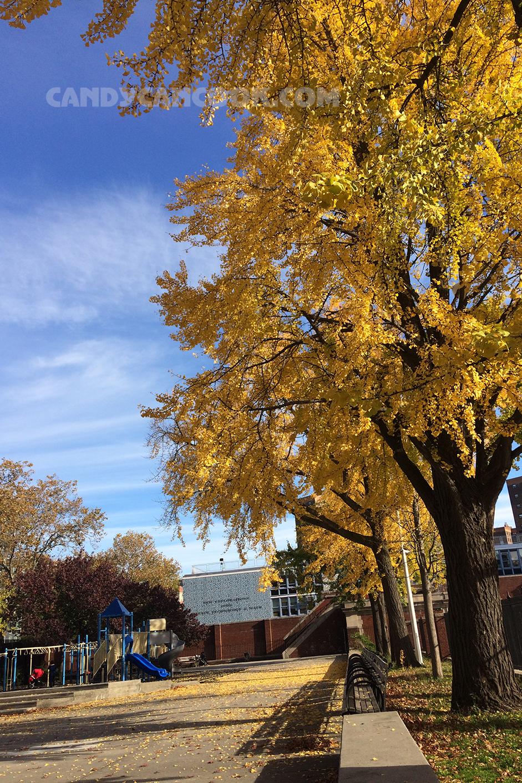 Rặng cây vàng rực ở công viên ngay gần nhà tớ